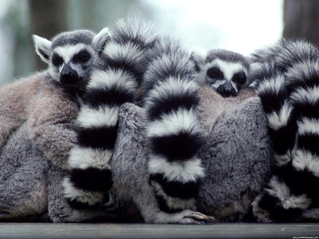 Lemurs-lemurs-24113696-1024-768