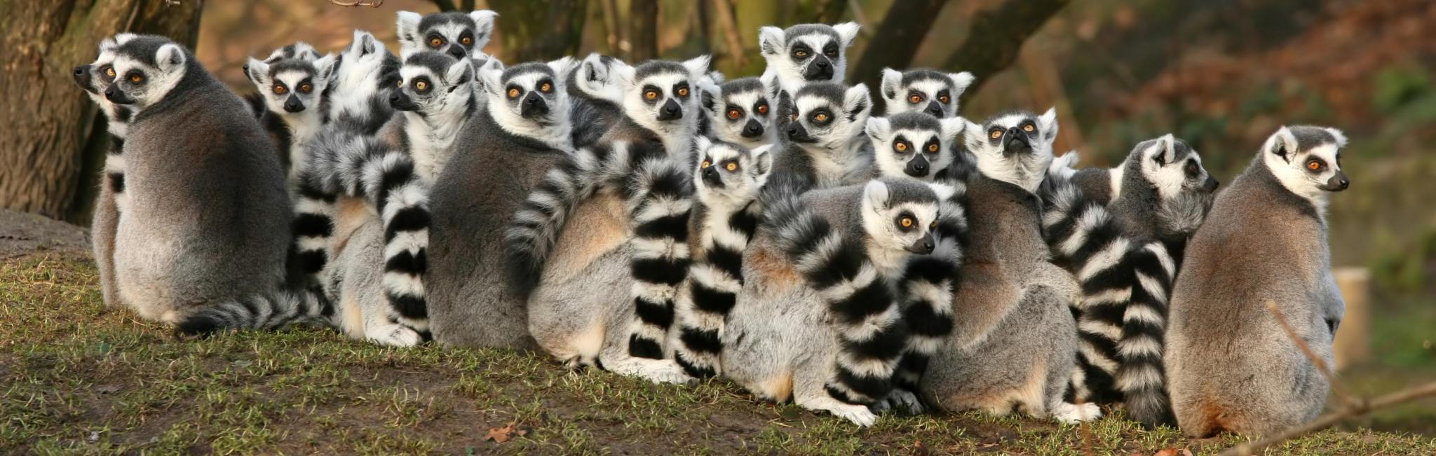 Africa-madagascar-group-of-lemurs