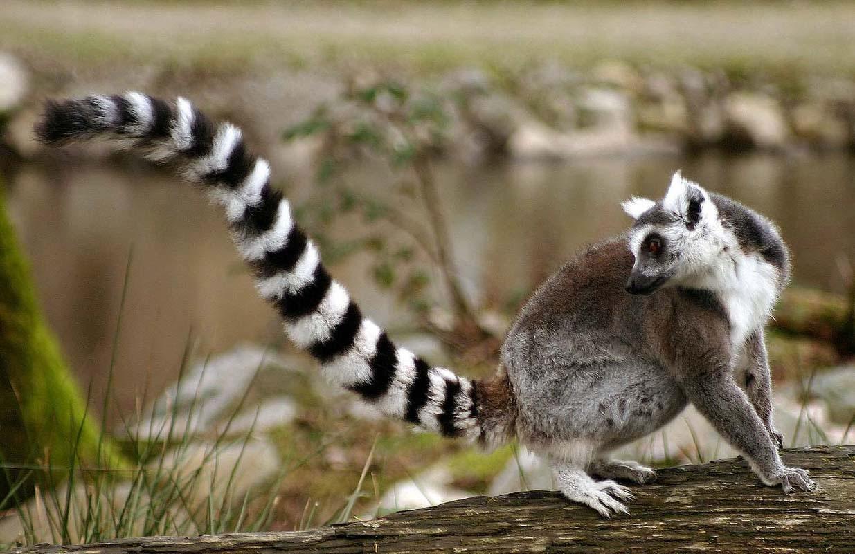 Lemur-tail Jpg