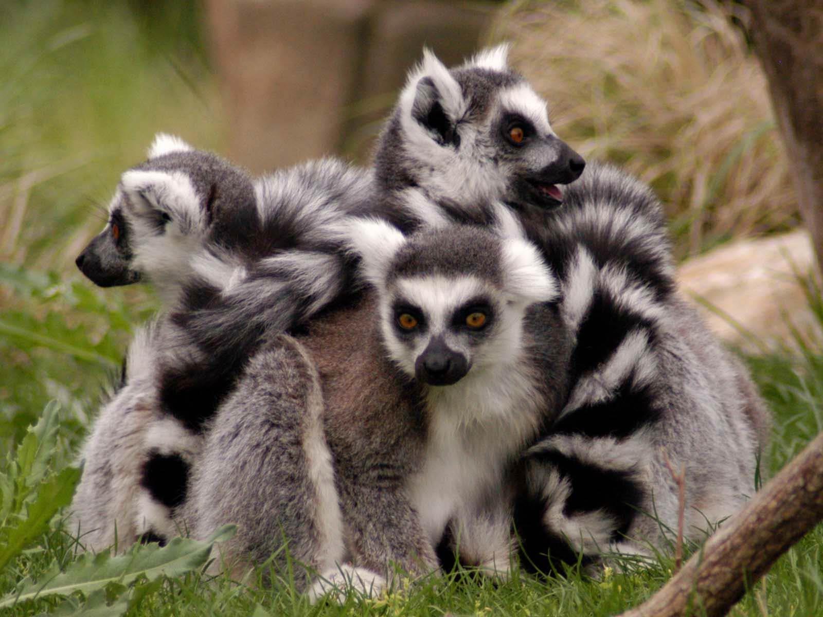 Lemur-wallpaper-6